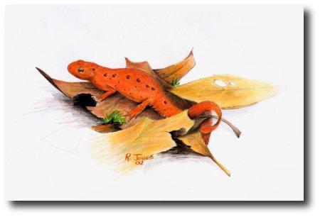red-eft-juvenile-common-newt.jpg